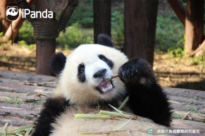 """大熊猫""""七巧"""""""