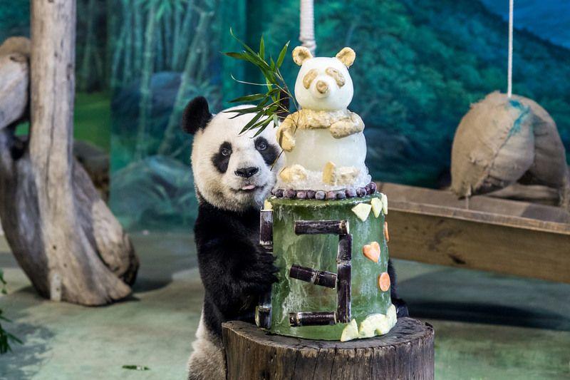 """图为""""圆圆""""与它的蛋糕。(图片来源:台北市动物园)"""
