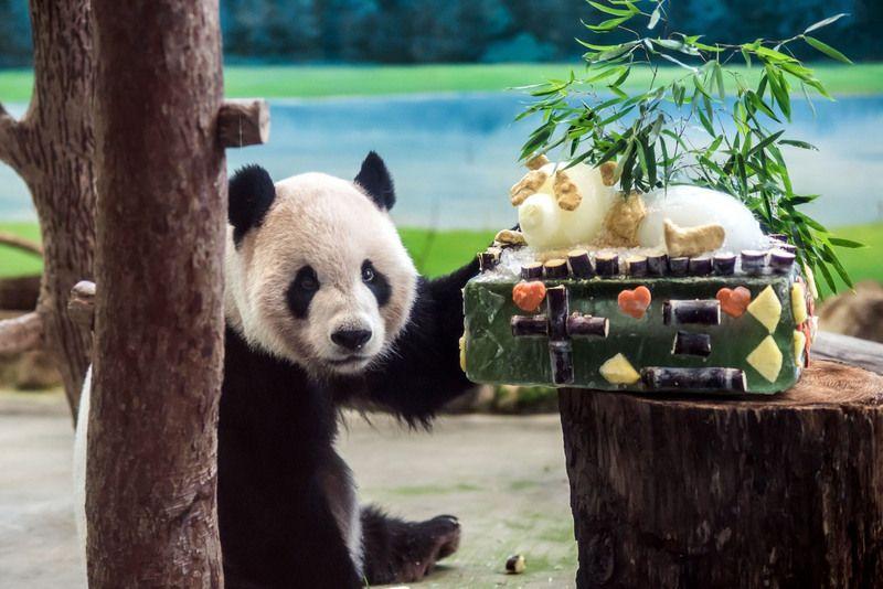 """图为""""团团""""与它的蛋糕。(图片来源:台北市动物园)"""