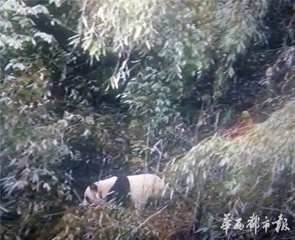 野生大熊猫