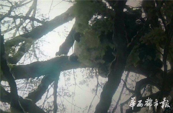 在树上睡觉的野生大熊猫