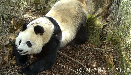卧龙保护区木江坪保护站2014年3月21日通过红外相机拍到的野生大熊猫照片