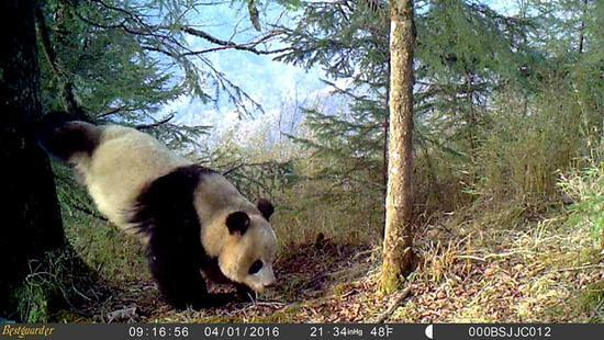 甘肃白水江国家级自然保护区内,一只野生大熊猫在倒立撒尿(4月1日摄)。 新华社发(甘肃白水江国家级自然保护区供图)
