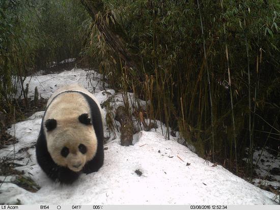 由甘肃白水江国家级自然保护区管理局白马河保护站提供的红外相机拍摄画面显示,一只野生大熊猫在甘肃省陇南市文县铁楼乡一带的森林中雪中漫步(3月8日摄)。新华社发