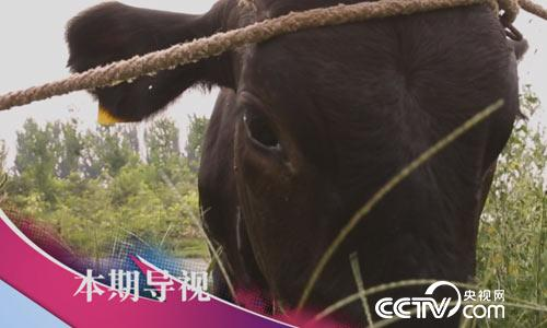 食尚大转盘:10万元一头的黑毛牛是啥味儿 9月10日