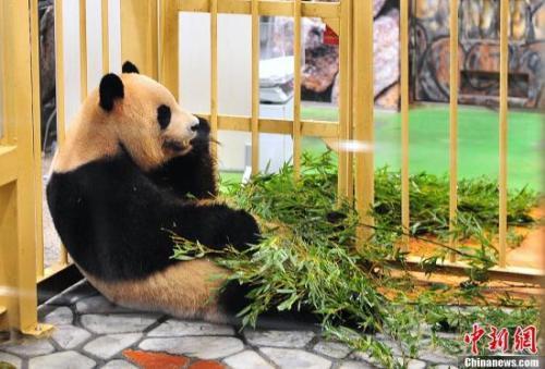 """大熊猫""""良滨"""""""