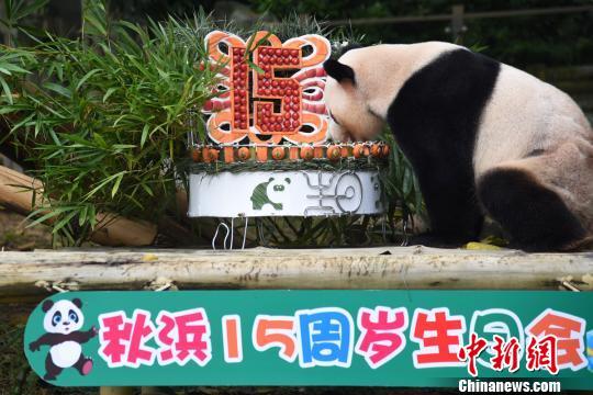 """深圳野生动物园工作人员为秋浜准备了一个直径73厘米,呈圆柱形的巨大的""""中国风生日蛋糕""""。(郑小红 摄)"""