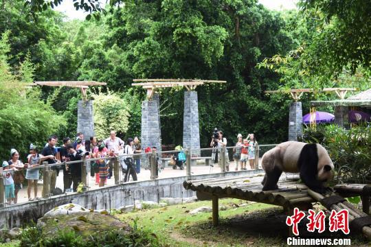 """众多热情的粉丝来到深圳野生动物园熊猫庄园为""""秋浜""""庆生。(郑小红 摄)"""
