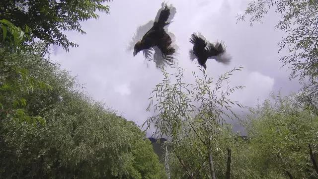 会飞的鸡您听说过吗?不仅飞的高,身价也不菲!