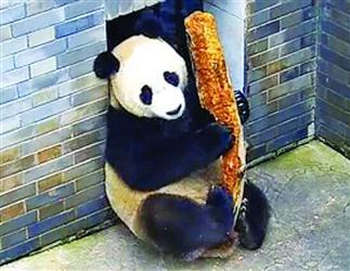 """即将来沈的大熊猫""""浦浦""""在""""弹琵琶"""""""