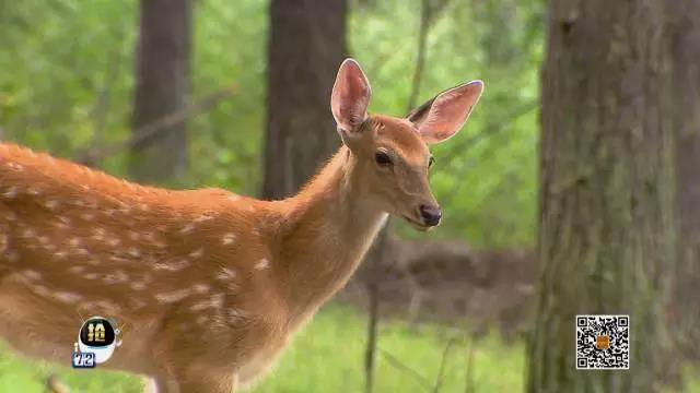 胆小的梅花鹿一身是宝