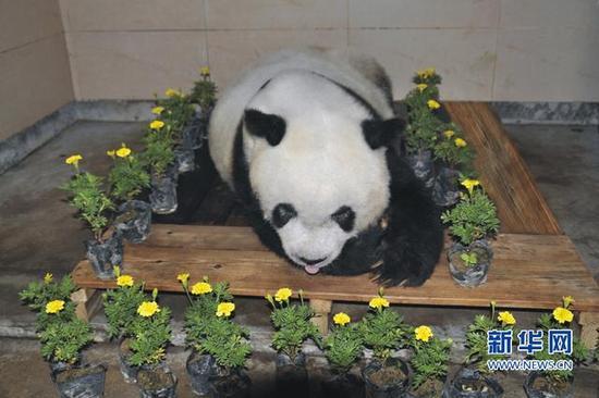 """9月13日上午,37岁大熊猫""""巴斯""""在海峡(福州)大熊猫研究交流中心离世。这是""""巴斯""""离世后的遗容。海峡(福州)大熊猫研究交流中心供图"""