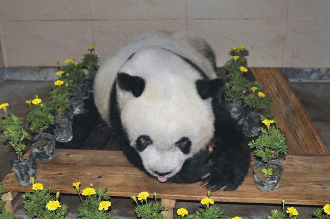 传奇大熊猫去世 享年37岁相当于人类100多岁