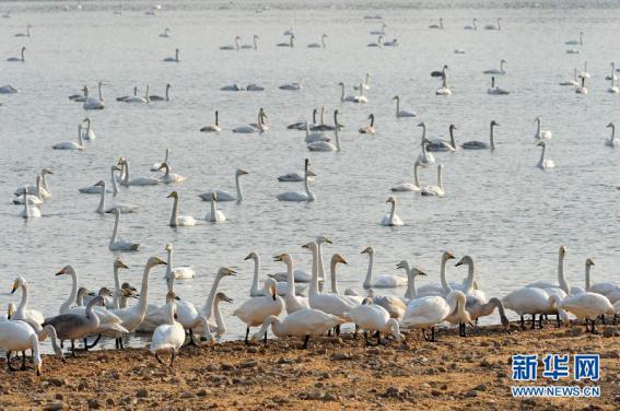 """进入冬季,大批白天鹅从西伯利亚迁徙到河南省三门峡市黄河湿地栖息越冬,三门峡库区变成黄河上的""""天鹅湖""""。随着黄河湿地生态环境的不断改善,到三门峡库区越冬的天鹅数量逐年增加。(图片来源:新华社)"""