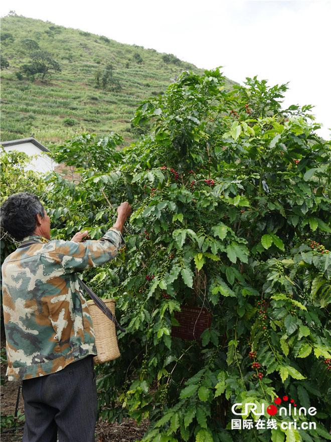 手工采摘咖啡豆