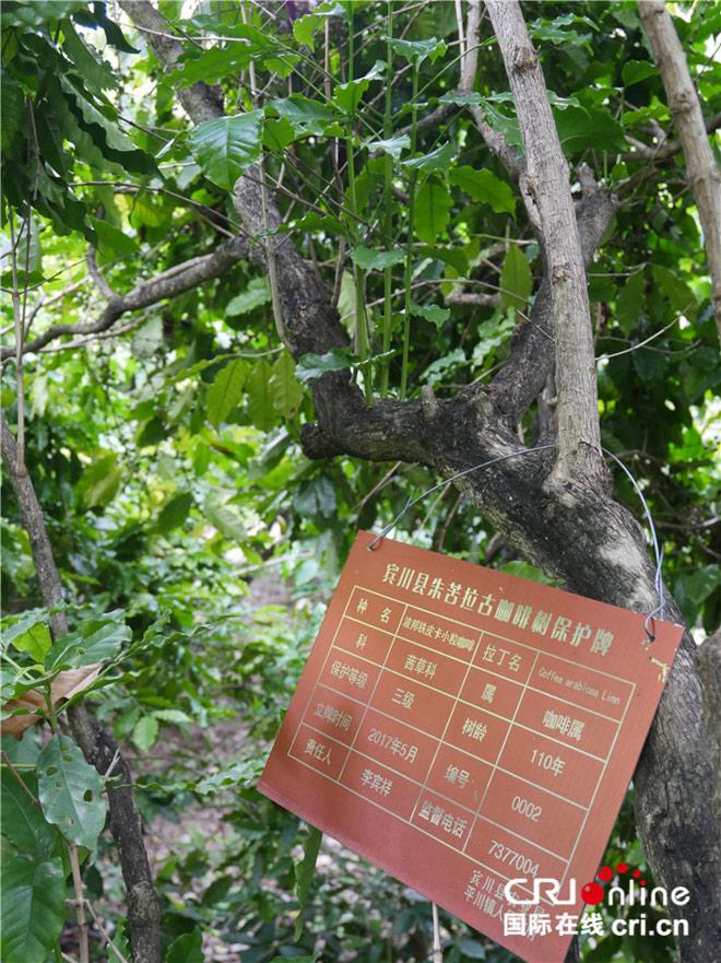 树龄110年的咖啡古树