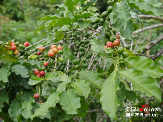 朱苦拉咖啡林是中国现存树龄最高的小粒种咖啡林,属阿拉比卡小粒种咖啡中的波邦和铁皮卡品种