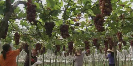 有人变着花样的把葡萄卖出去,销售额近2亿,看看您能学几招!