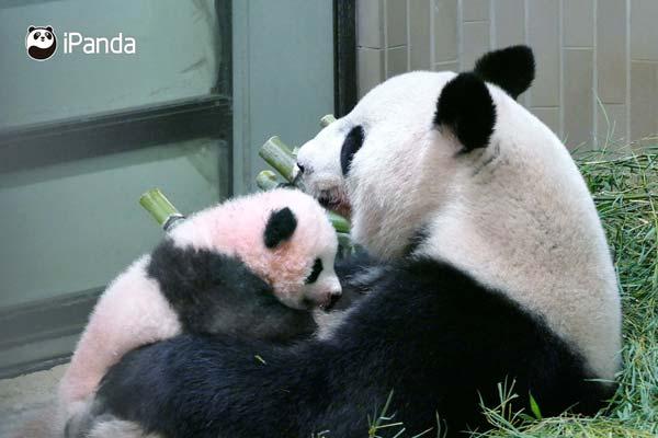 日本新生大熊猫被命名 香香 呆萌样子惹人爱图片 31219 600x400