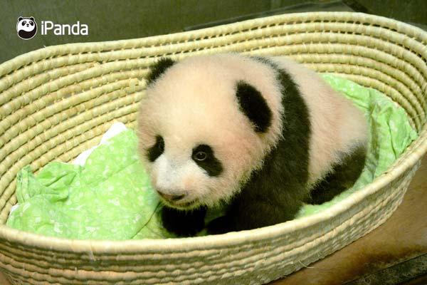 """呆萌可爱的熊猫宝宝""""香香"""""""