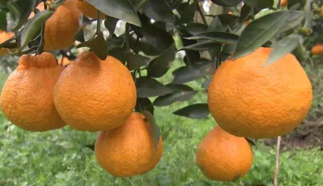 花四五百万元跨越2000公里去抢柑橘,他抢到了吗?