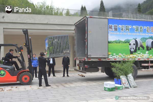 中国大熊猫保护研究中心工作人员将将两只大熊猫装进运输车