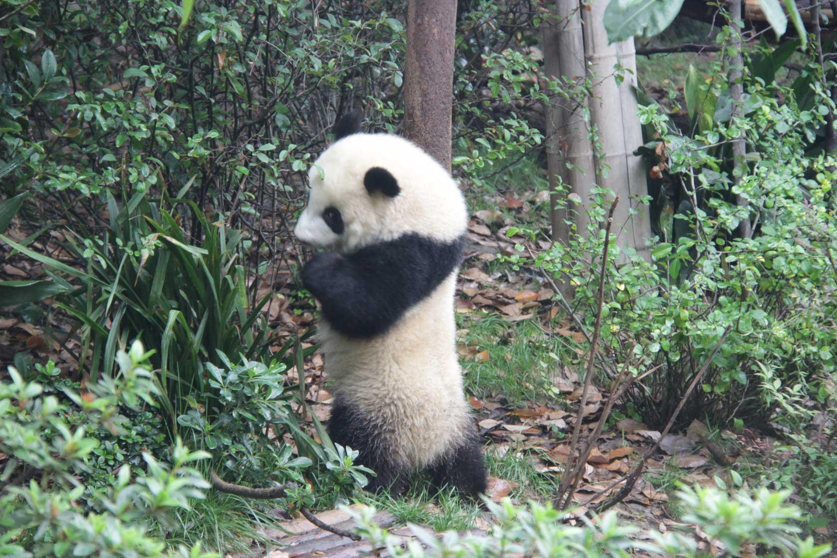 """大熊猫""""梅兰"""""""
