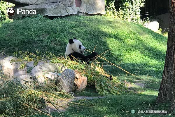 """大熊猫""""星宝""""在西班牙吃竹照"""