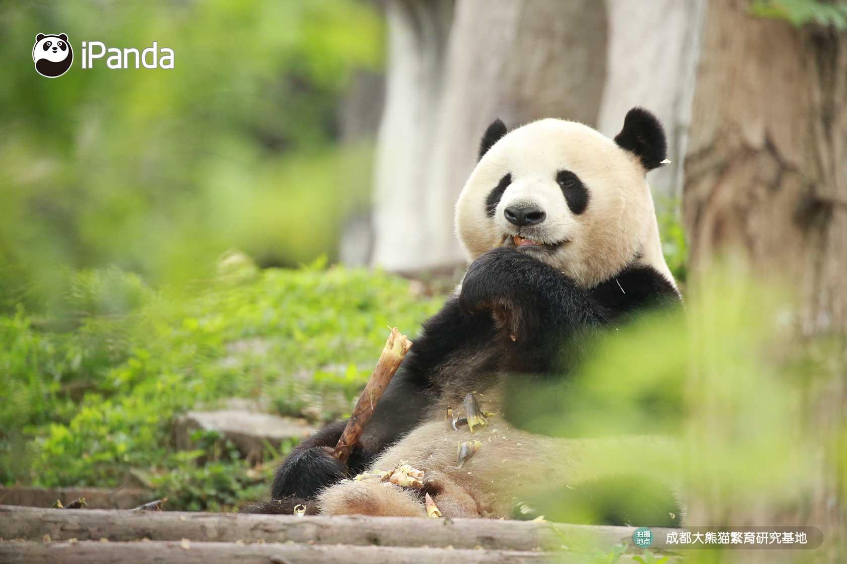 """大熊猫""""迎迎"""""""