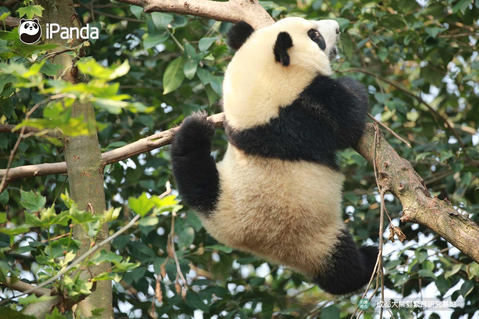 """大熊猫""""雅竹"""""""