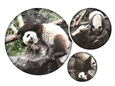 """熊猫""""和和""""、""""九九""""入住南京红山动物园。扬子晚报记者 范晓林 摄"""