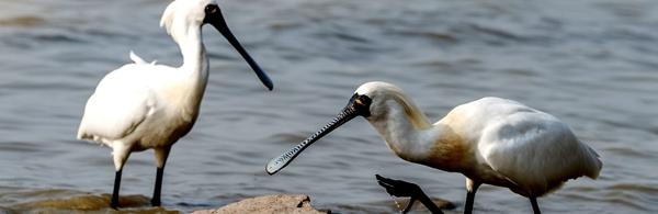 """黑面琵鹭的扁平长嘴与乐器琵琶相似,又因姿态优雅被称为""""黑面天使""""。(图片来源于台湾观光部门网站)"""