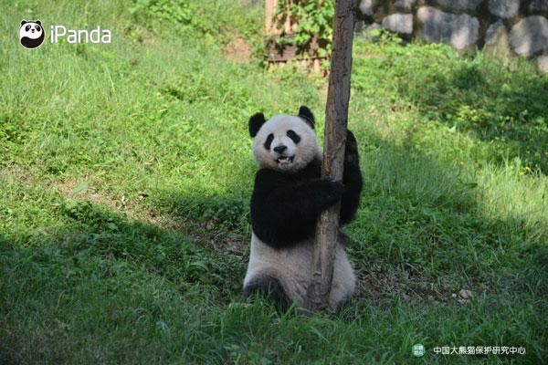 """大熊猫""""雅吉"""""""