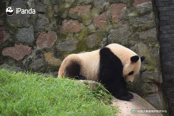 """大熊猫""""雅吉""""婀娜的身姿"""