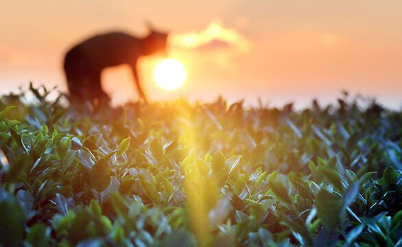 10月7日,在福建泉州安溪县龙涓乡内灶村,一名茶农在采摘秋茶。