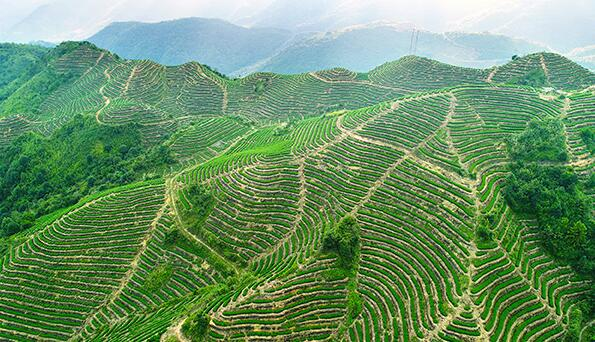 这是航拍的福建泉州安溪县龙涓乡茶山(10月7日摄)。