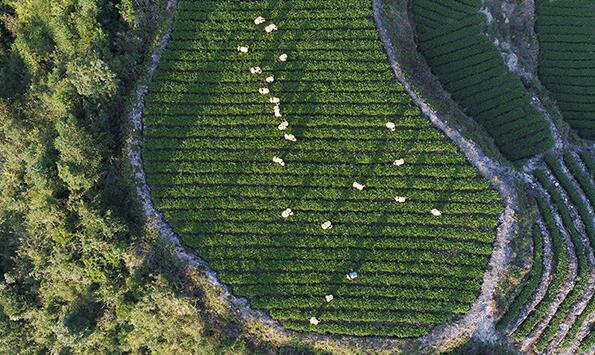 10月7日,在福建泉州安溪县龙涓乡内灶村,茶农们忙着采摘秋茶。