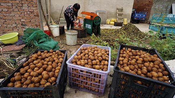 石墙沟村村民在用机器给核桃去皮(10月6日摄)。