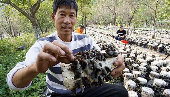吴连成(左)和家人一起采摘成熟的木耳(10月7日摄)。