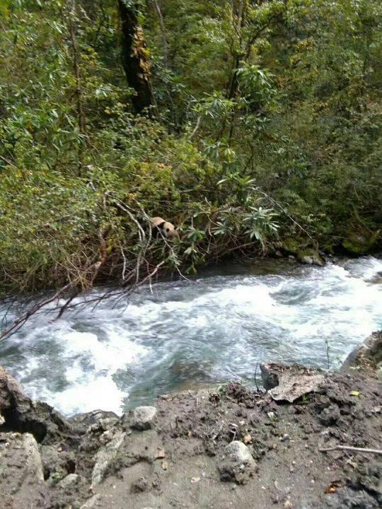 一只大熊猫正在尝试过河