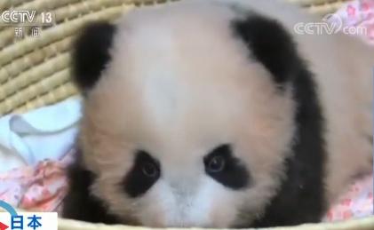 日本 大熊猫宝宝 香香 名字发布图片 37241 421x259