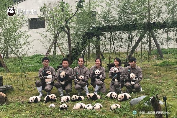 神树坪基地十九只大熊猫集中亮相