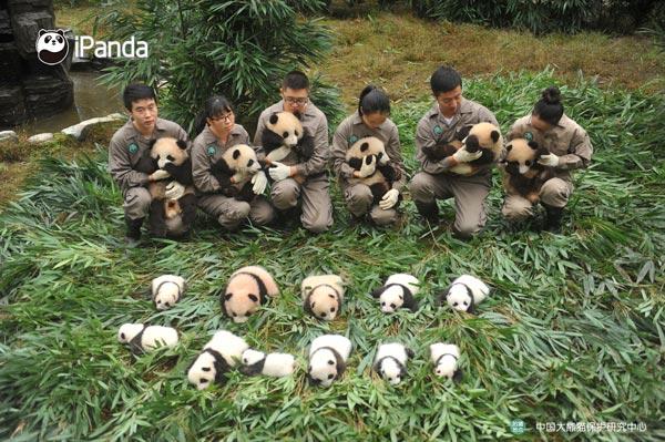 雅安碧峰峡基地十七只大熊猫集中亮相