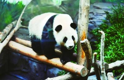"""大熊猫""""平平""""入住红山动物园的""""新家"""""""
