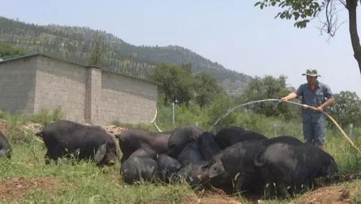 黑猪长出雪花肉,靠的是什么?