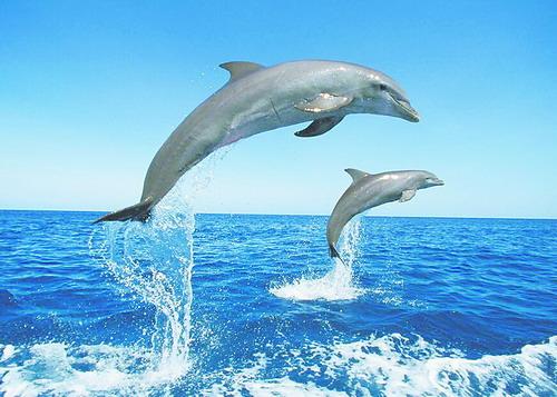 瓶鼻海豚。