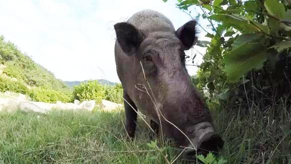 野猪养在深山,销路从哪来?