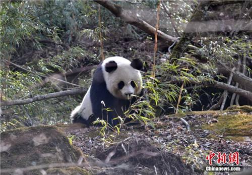 野生大熊猫(资料图)