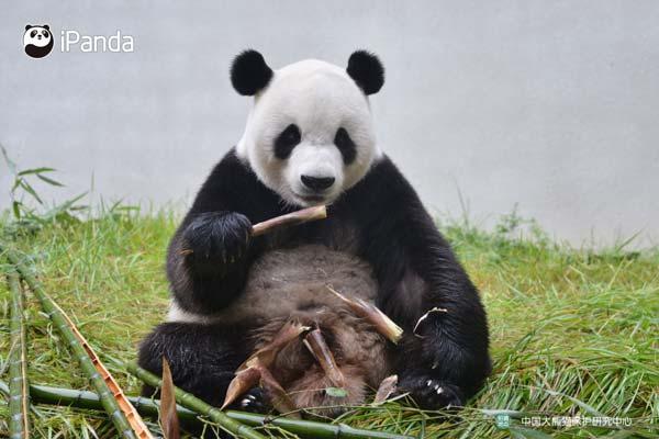 """大熊猫""""彩陶""""(资料图)"""