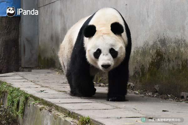 """大熊猫""""湖春""""(资料图)"""